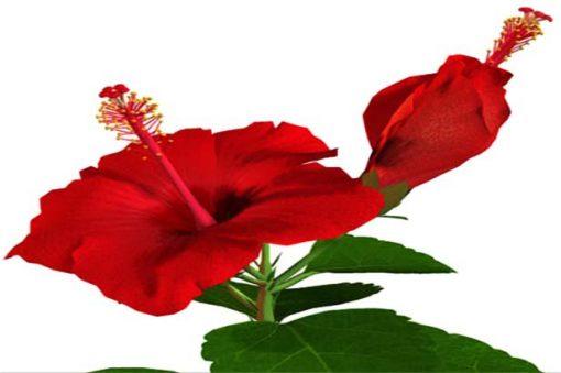 hibiscus eliquid